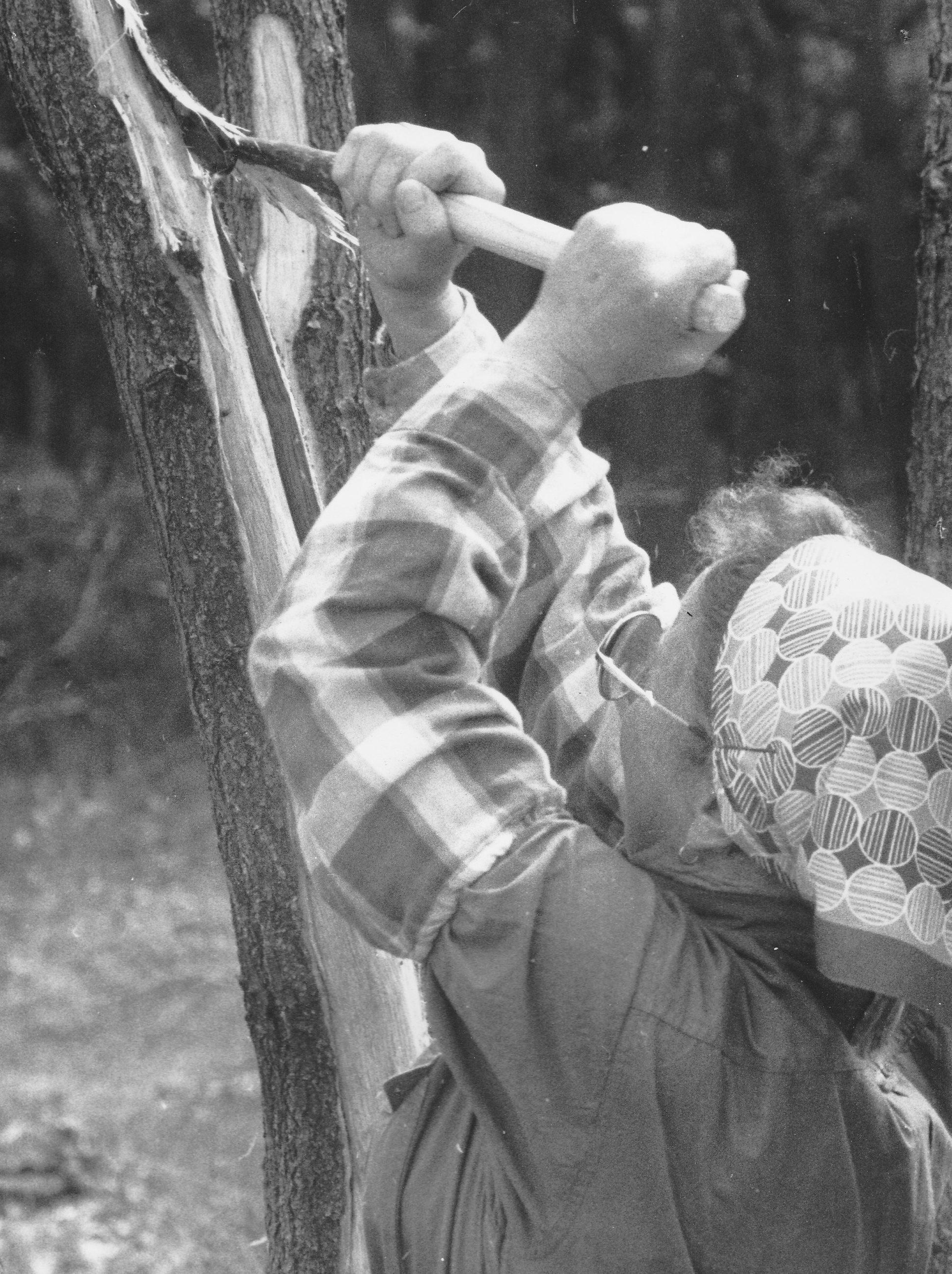 Eine Frau bearbeitet einen Baum. Mit einem speziellen Haubergswerkzeug schält sie die Rinde ab
