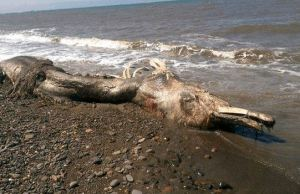 Mysterious Sea Creature With Fur Washes Ashore in Russia's Far East