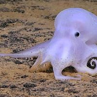 Rare Ghostlike Octopus Discovered 14,000 Feet Below
