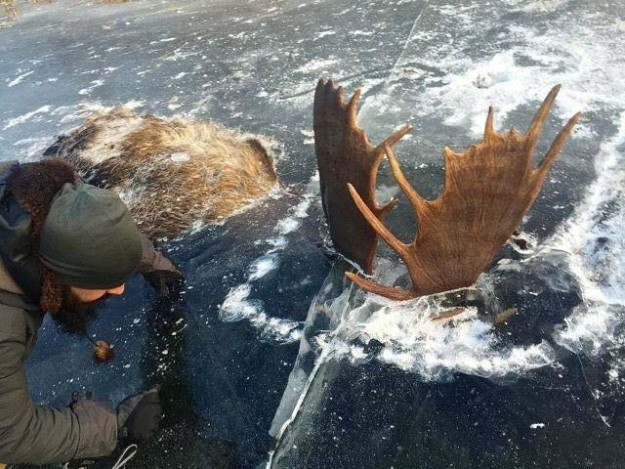 Two Moose Found Frozen InIce Locked In Mortal Combat