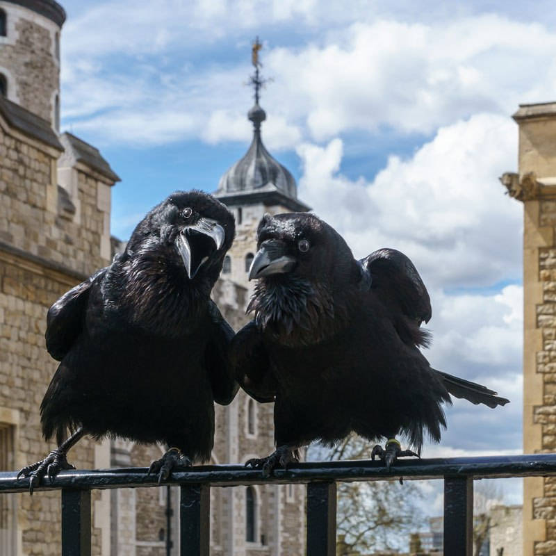 The Ravens of the Tower of London