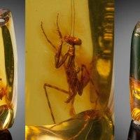 A 12 Million Year Old Praying Mantis Encased inAmber
