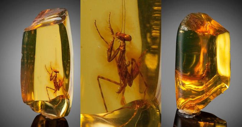 12 Million Year Old Praying Mantis Encased inAmber