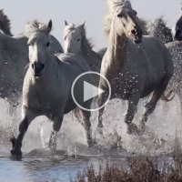 A Pack of Majestic Wild Horses Running Slow Mo Through Water