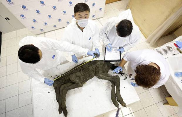 42,000-Year-Old Well Preserved Horse Found In Siberia