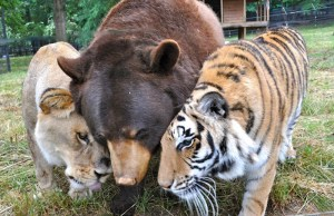 Bear Lion And Tiger