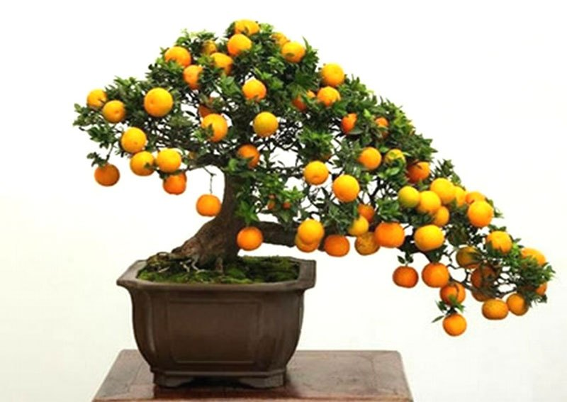 Bonsai Fruit Trees