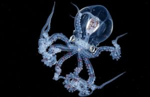 Octopus With A Transparent Head