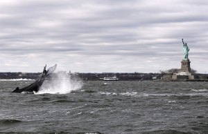 Humpback Whale in New York Harbor