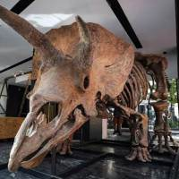 The World's Largest And Almost Complete Triceratops Skeleton Is Up For Auction