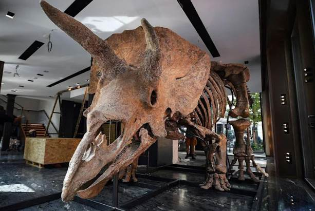 Triceratops Skeleton Is Up For Auction