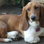 MHF Basset Hounds Review – Backyard Breeder Beware….