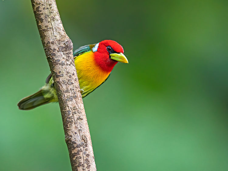 A male Red-headed Barbet perches on a branch in the cloud forests of the Andes, Colombia