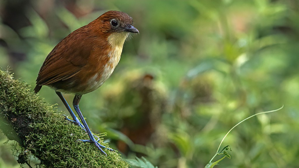 A Yellow-breasted Antpitta on a mossy branch in Mindo Cloud Forest, Angel Paz Refugio de los Aves, Ecuador. Bird Wildlife Photography