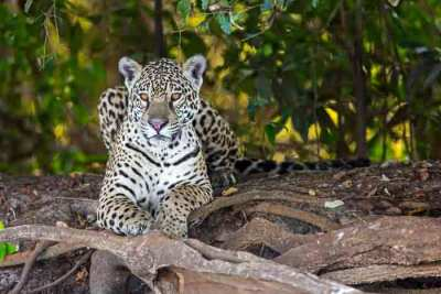 A female jaguar (Panthera onca) resting on a river bank in Brazil, photographed on an Untamed Jaguars of Pantanal Wildlife Photography Expedition