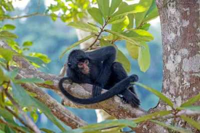 An endangered Peruvian Spider Monkey (Ateles chamek) resting of the Amazon rainforest. photographed on an Untamed Peruvian Amazon Wildlife Photography Expedition