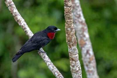 A Purple-throated Fruitcrow (Querula purpurata) in the canopy of the Amazon rainforest, photographed on an Untamed Peruvian Amazon Wildlife Photography Expedition
