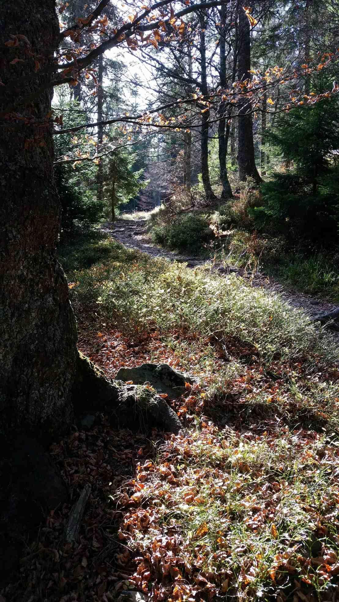 Herbstsonne im Schwarzwald, stimmungsvoller Aufstrieg zum Belchen Gipfel