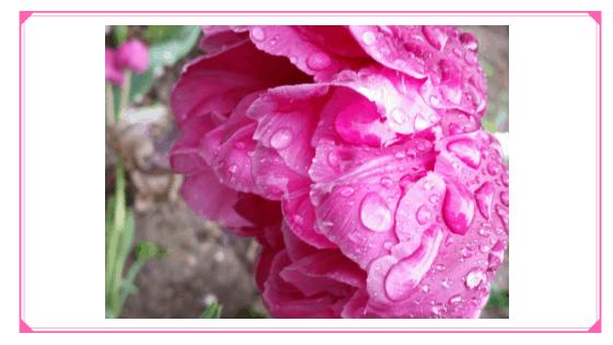 Tulpe im Regen Schlechtwetterfotografie