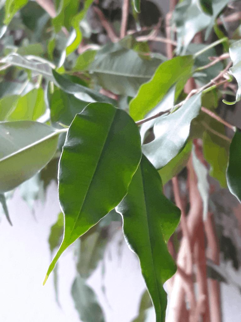 Birkenfeige: wie mein Ficus immernoch gut überlebt ...