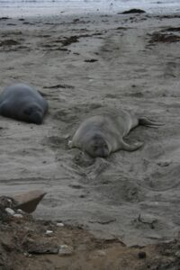 Female elephant seal taking a rest at Año Nuevo State Beach.