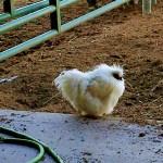 Chicken at Emma Prusch Farm, San Jose