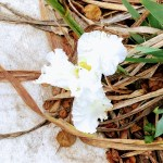 Snow Flurry, a white iris, in the iris garden on the Three Creeks Trail in Willow Glen.