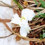 Snow Flurry, a white iris, in the iris garden on the Three Creeks Trail in Willow Glen.