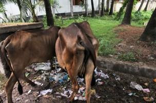 Street Cows Jessore