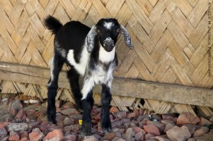 Bawm Village Bangladesh Goat