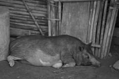 Murong Village Pregnant Pig