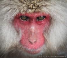 A morning with the snow monkeys. Yudanaka, Japan