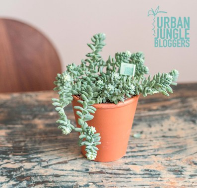 "Sedum ""Burrito"", ©Bergamotte x Urban Jungle Bloggers"