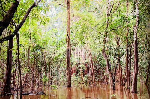 Mangrovenwald Amazonas