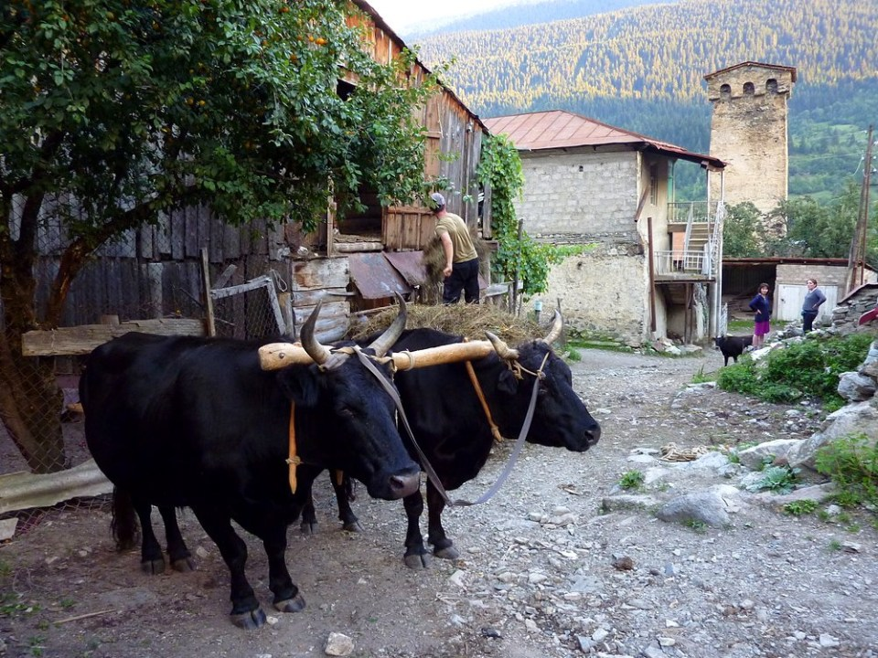 Oxes resting from their work (Mestia, Georgia) Photo by  Frans Sellies