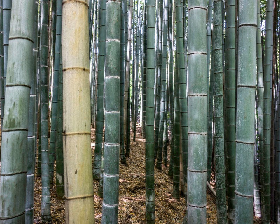 Bamboo trees in Arashiyama's Sagano Bamboo Forest, Kyoto, Japan
