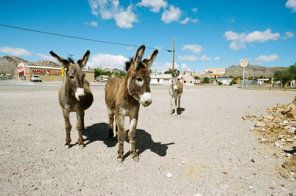 The burros of Beatty