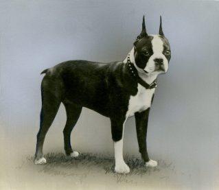 Boston Terrier (17-HD-1-B001)