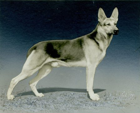 German Shepherd (17-HD-1-K001)