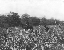 """""""Group of Negroes picking cotton."""" 6/8/1928 (86-G-1B-1)"""