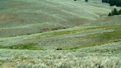 Although sometimes difficult to see, close observers will spot buffalo out in the valley. Can you see the buffalo here? Photo by Katie Armstrong of NSBO. (Local Identifier:406-NSB-009-buffalo_2)