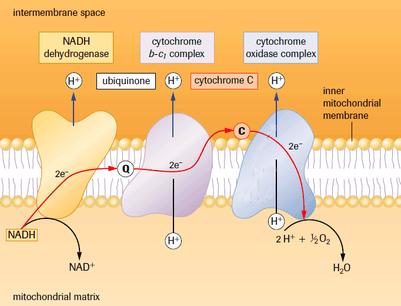 Electron Transport Chain & Chemiosmosis  SBI4U RESOURCE
