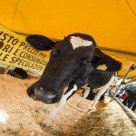 Vacche da letame