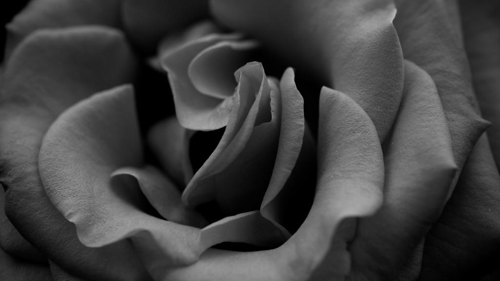 非黑即白的世界,高清壁紙圖片,鮮花背景-回車桌面
