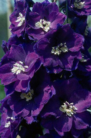 زهرة البنفسج-معلومات عن زهرة البنفسج-فوائد زهرة البنفسج الطبية 13657972813.jpg