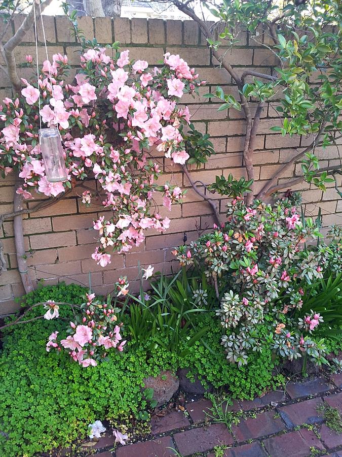 As azaléias foram as primeiras a florir no nosso quintal, anunciando a estação das flores!