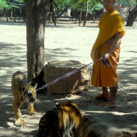 Tiger on a leash. #NBD