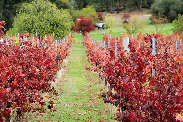 Autumn views at the Perth Hills and Bickley Valley wineries
