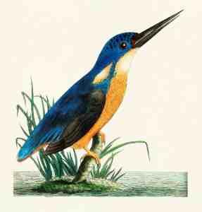free vintage bird illustration kingfisher