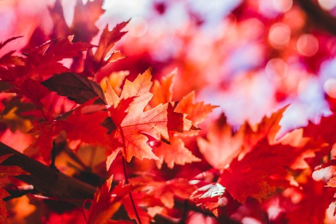 Red Leaves.jpg